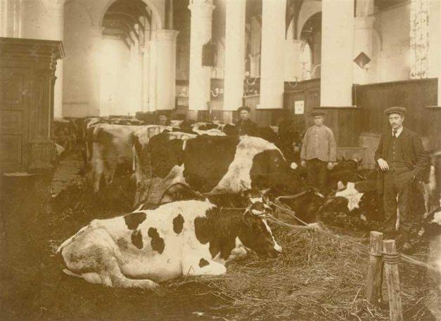 Koeien-in-de-kerk1916